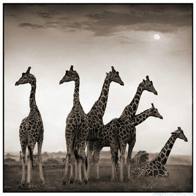 Giraffe Photography